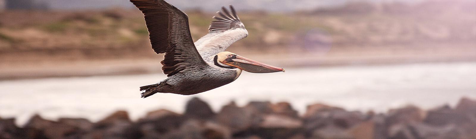 Pelican160